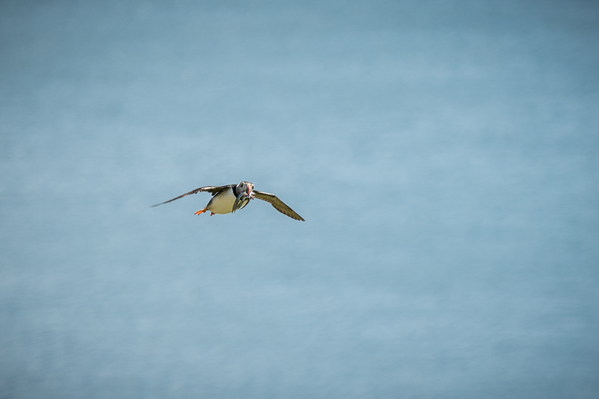 A puffin coming into land with sandeels in its beak on Mingulay.
