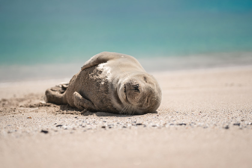 A grey seal pup enjoys the sunshine on a beach on Mingulay.