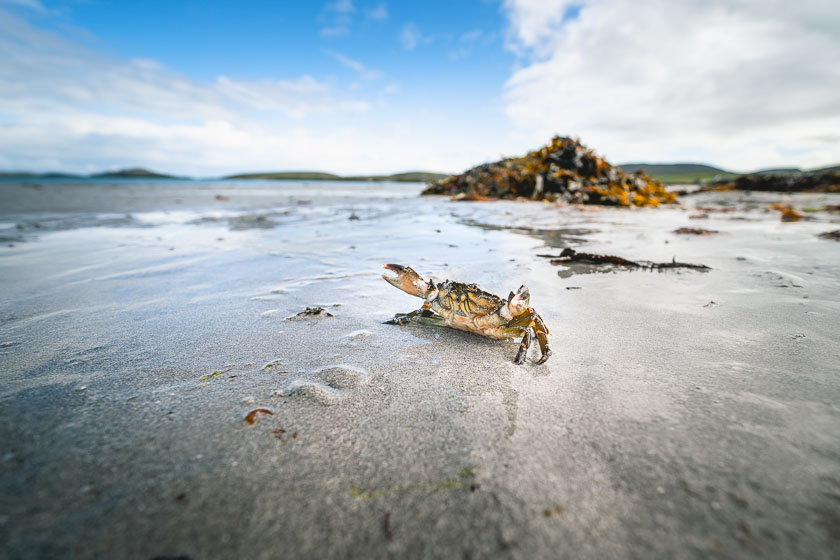 A crab with raised claws scuttling across a beach on Barra, Scotland.