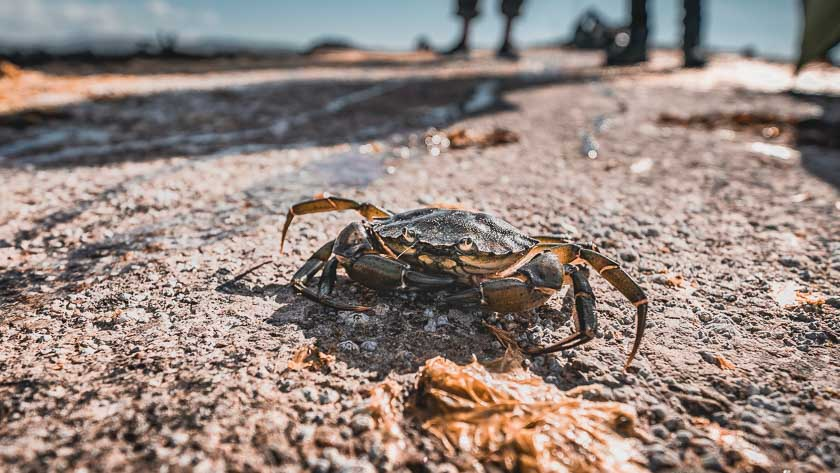A crab scuttles to the sea along a pier.