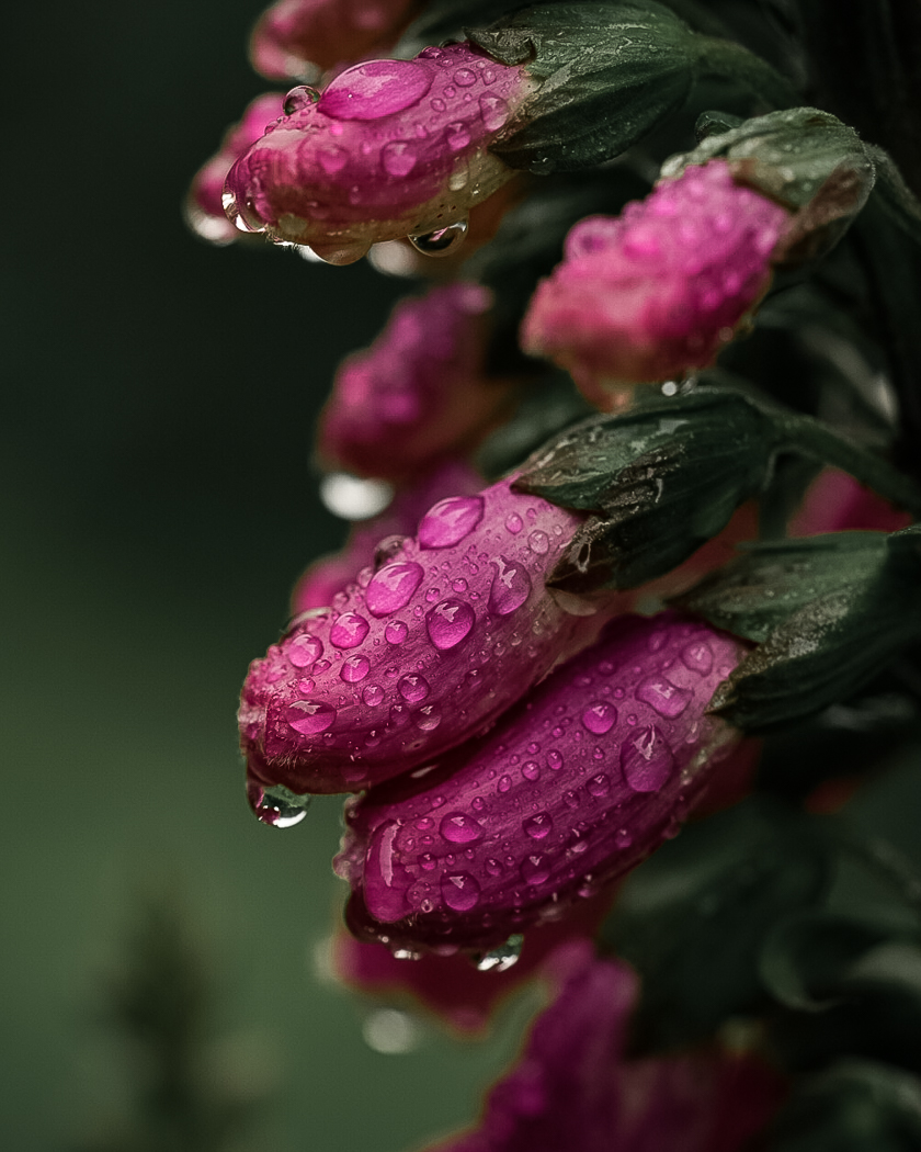A close-up shot of dew on unopened foxgloves