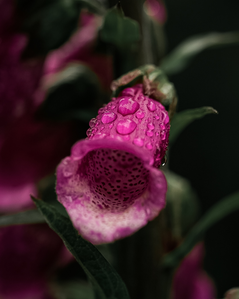 A close-up shot of dew on a foxglove